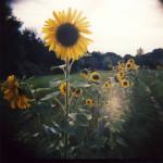 Sonnenblume_Lichtzirkus_Photographie