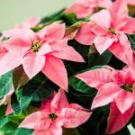Weihnachtsstern_Lichtzirkus_Photographie