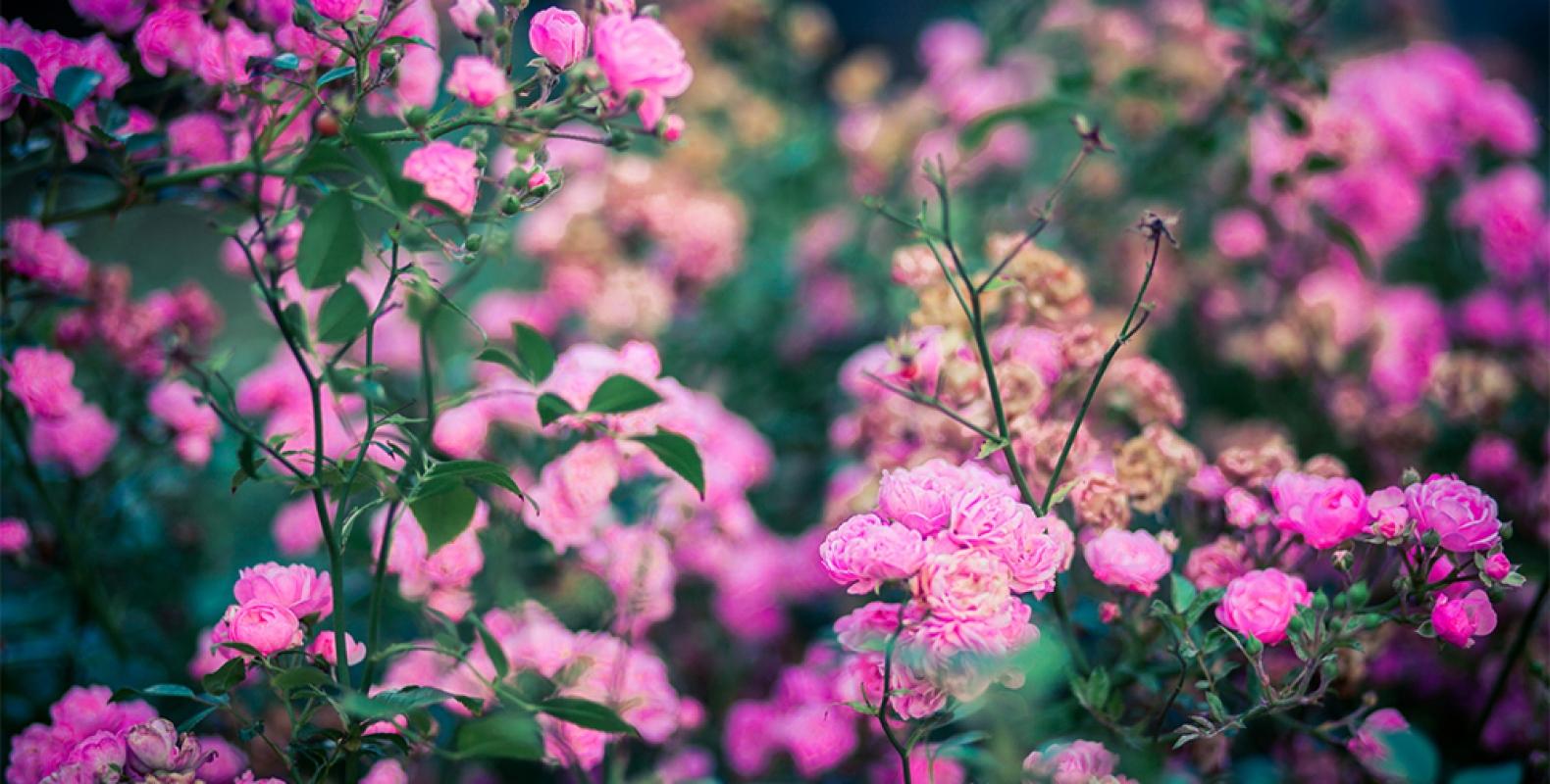 Rosen sind rot, ähhh rosa!